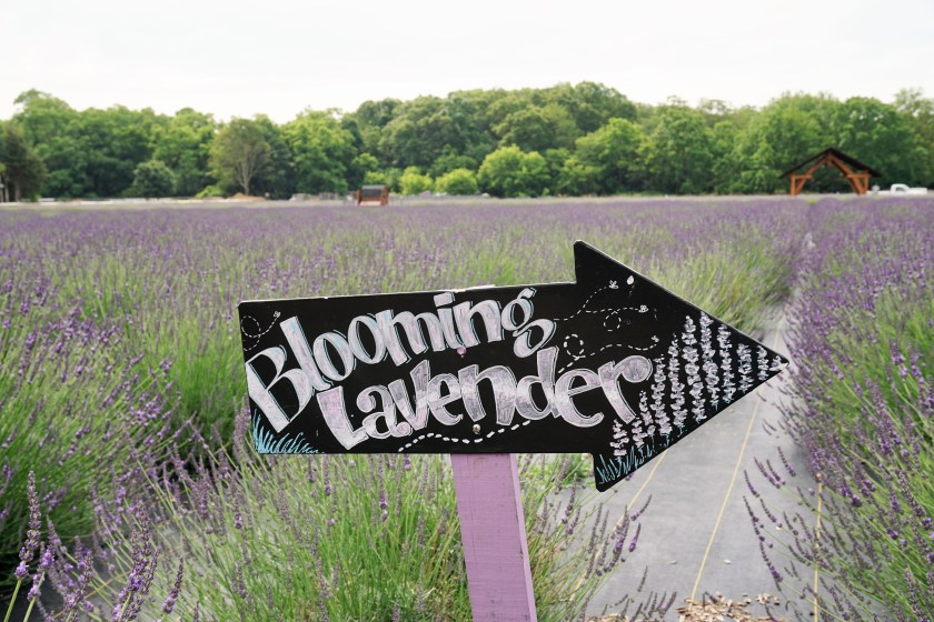 Blooming lavender fields this way! At Lavender by the Bay
