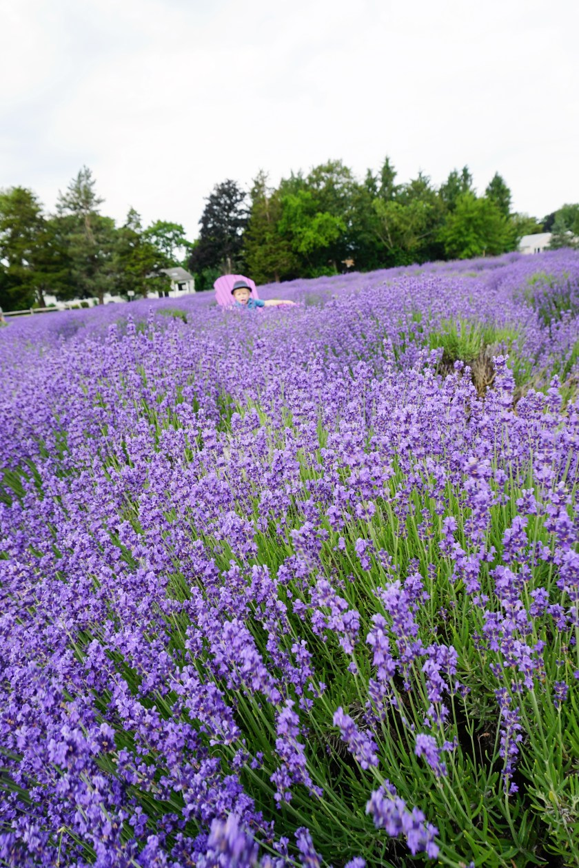 Lost in sea of Lavender at Lavender by the bay