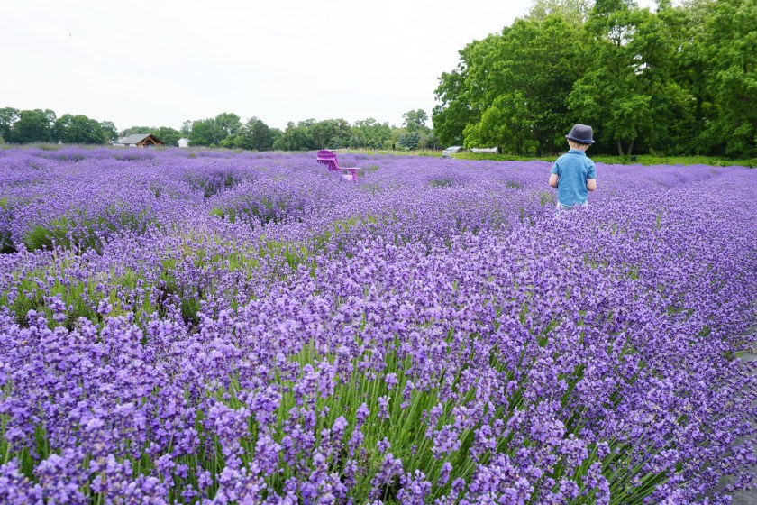 Standing in the fields of Lavender by the Bay