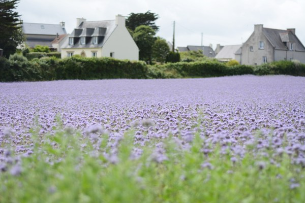 France Brittany Roscoff Our French Adventure Week one purple fields