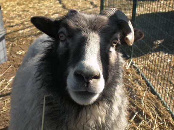 Icy my Icelandic sheep.