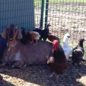 Grandma Cookie and the little chicks. It takes a whole barnyard to raise a chick.