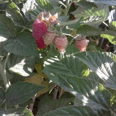 Raspberries – ready for pickin!