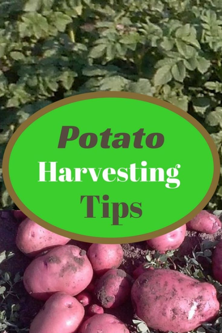 Potato plants and harvested red potatoes