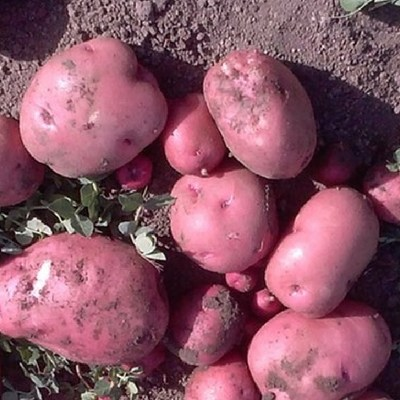 Potato Harvest Tips