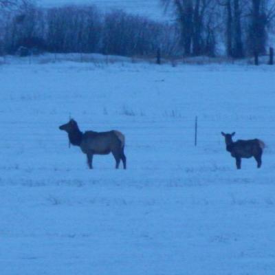Elk Moving In