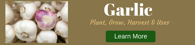 Garlic, plant, grow, harvest, use