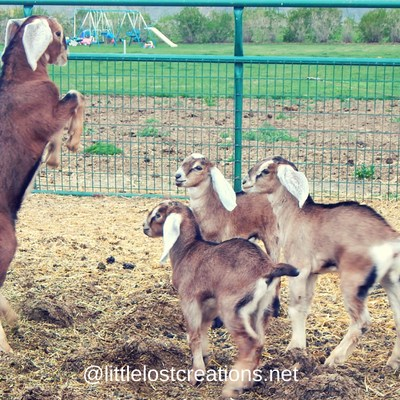 Tips to Wean Baby Goats