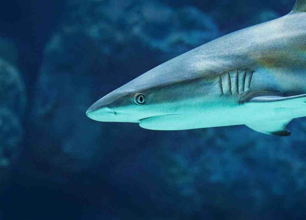a reef shark