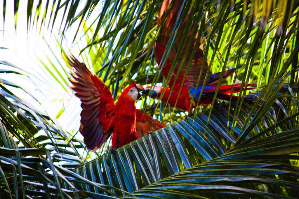 Picture of two red macaws in Costa Rica.
