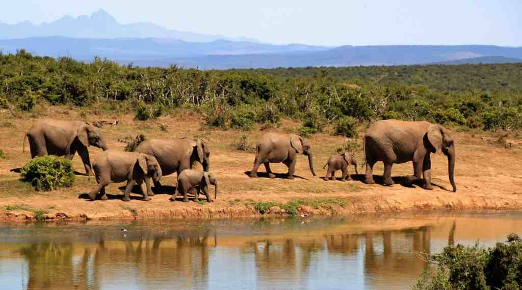Elephants on an African Safari by the water with mountains in the distance behind.