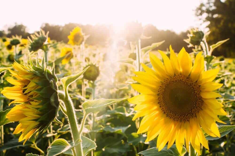 sunflower fields and sun rays