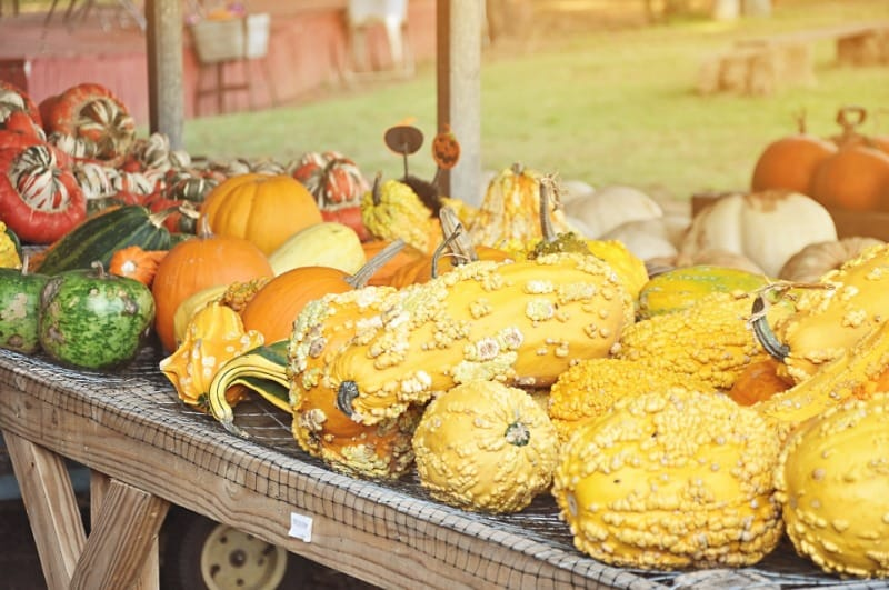 Display of warty gooseump pumpkins at a pick your own pumpkin farm