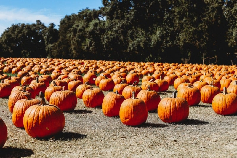 Hundreds of pumpkins stretching as far as the eye can see at a pumpkin patch