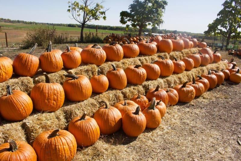 A pumpkin display at one of the pick your own pumpkin farms