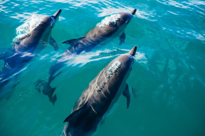 Dusky dolphins are a common sighting in Kaikoura.