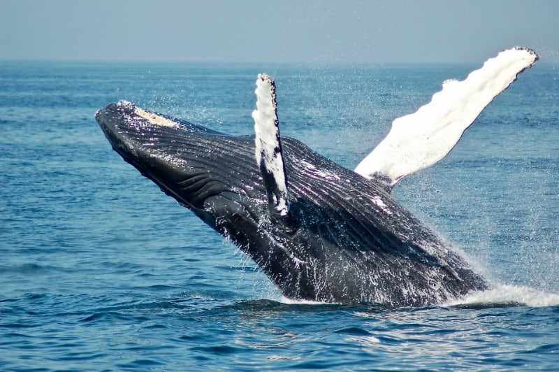 Kaikoura is one of the best places in New Zealand to see humpback whales