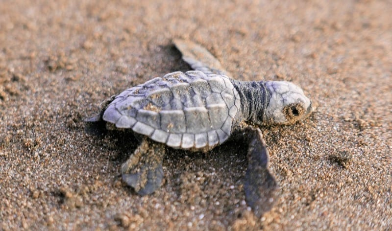 Helping hatchling turtles to the sea is a community-led project in Costa Rica