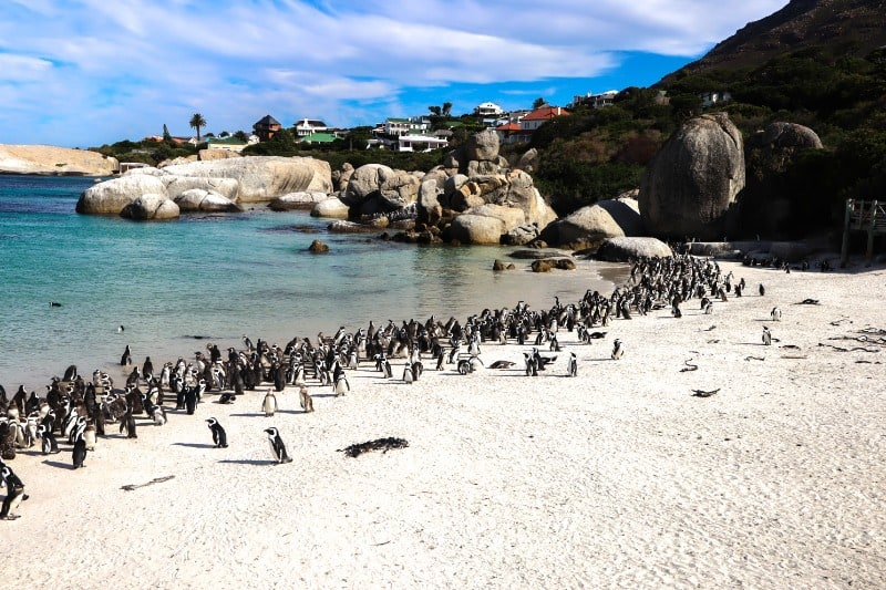 Seeing African Penguins at Boulders Beach is one of the best ethical animal experiences you can do.