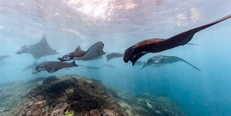 Group of mantas swimming over the rocks.