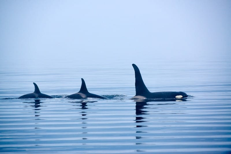 One of the most ethical places to go whale watching is British Columbia