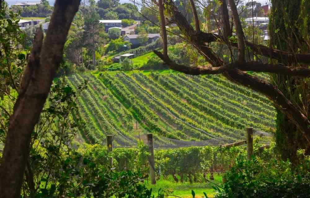 Best Wine Tasting in New Zealand: Waiheke Island vs Central Otago
