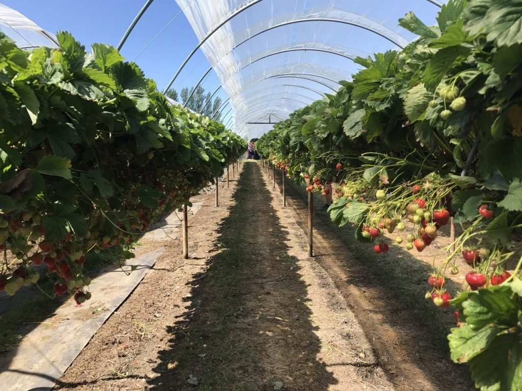 Strawberry picking cammas hall farm, free kids days out in essex