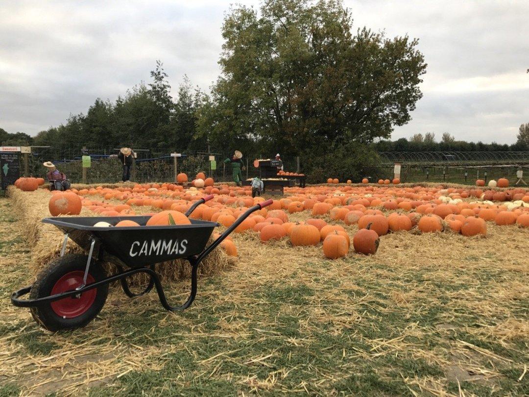 Pumpkin Picking In Essex at Cammas Hall Farm