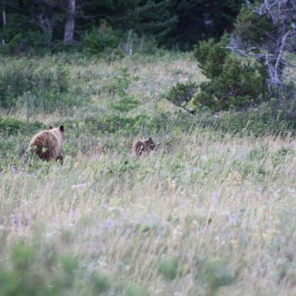 Mama and baby Grizzly in a field