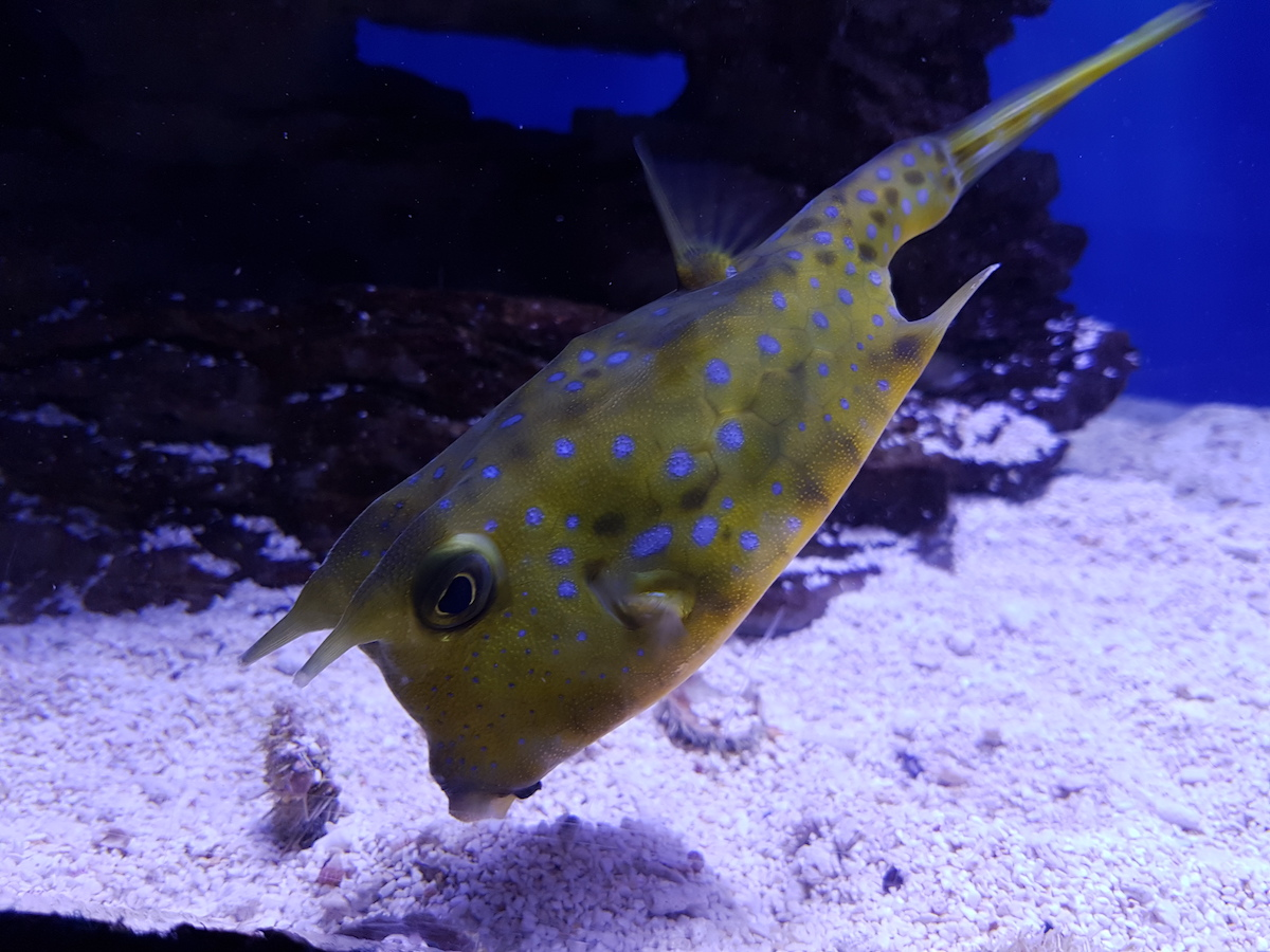 Longhorn cowfish at Two Oceans Aquarium V&A Waterfront