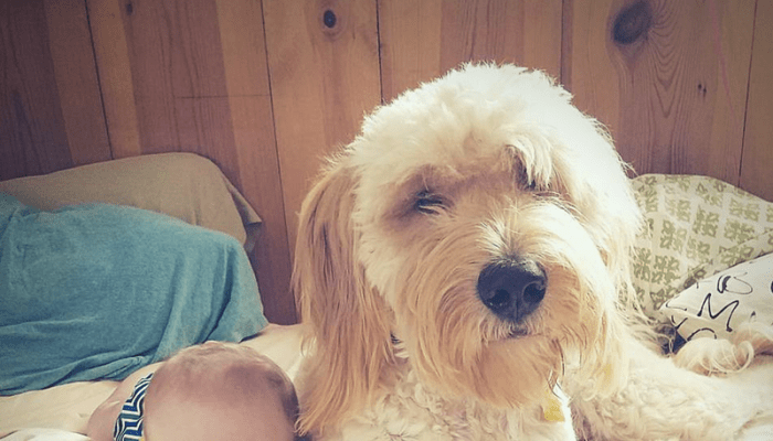 Ten reasons to own a Goldendoodle