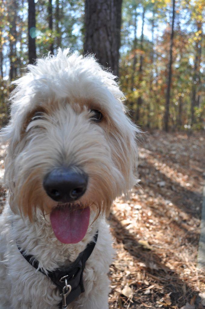 goldendoodles-nature walk-walking the dog-outdoors