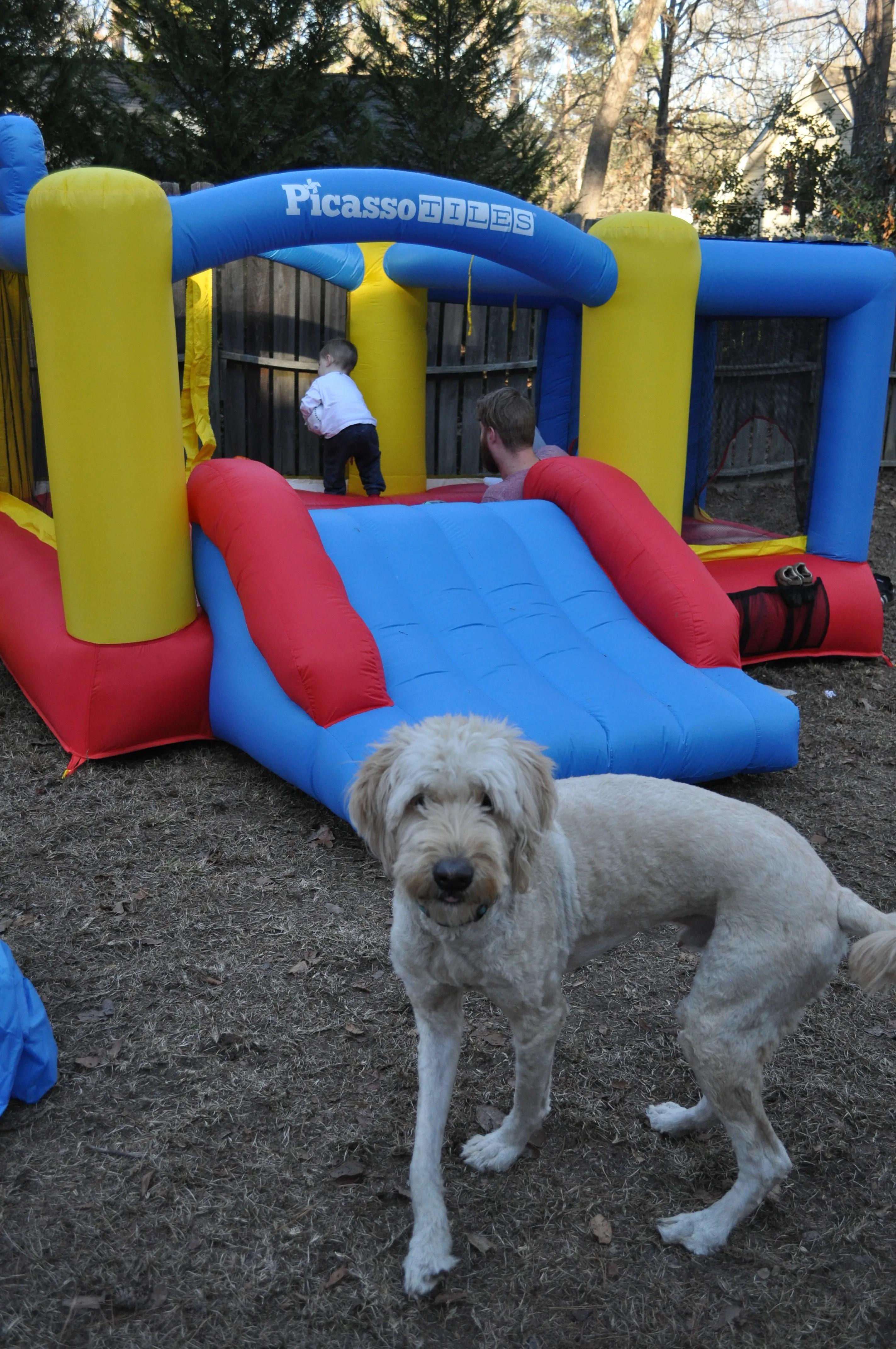 goldendoodle-mans best friend-bounce house