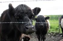 Oreo cows upclose. Richmond, BC.