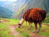 Llama! Peru.