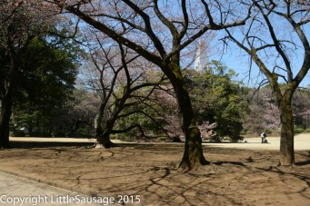 Our first view of cherry blossoms in a Japanese park