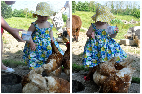 court-farm-bude-chickens