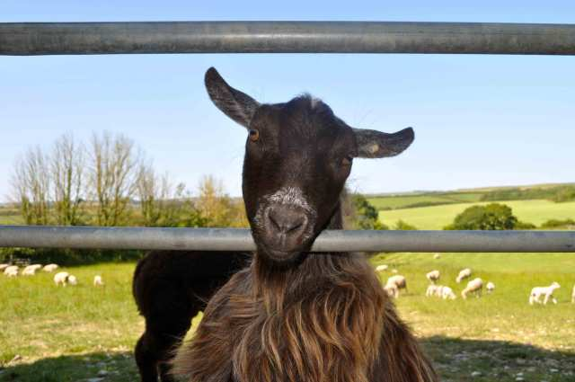 court-farm-bude-goat