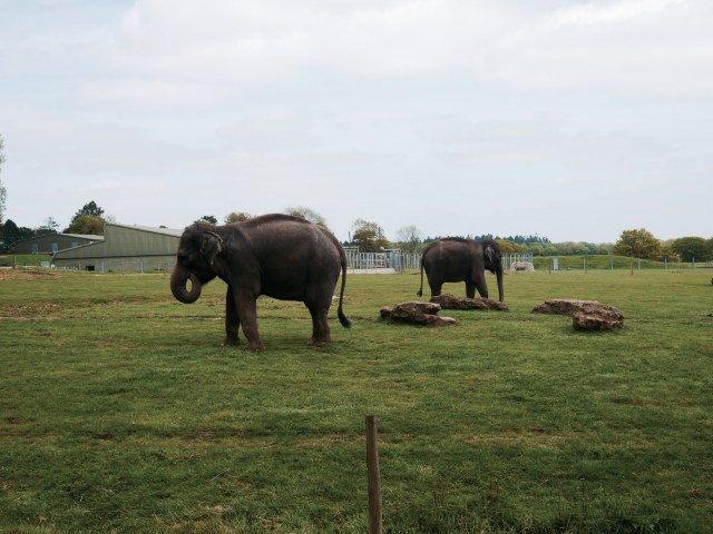ZSL whipsnade zoo elephant
