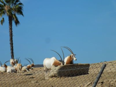 ARABIAN ORYX (I think)