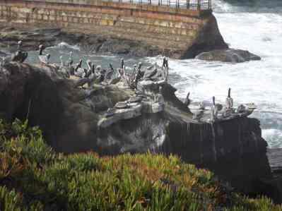 PELICANS AT SEAL BEACH