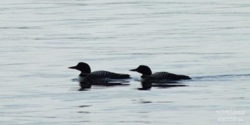 LOONS OUT FOR EVENING SWIM