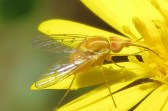 Tan and Yellow Fly.