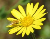 This Tan and Yellow Fly is only about 1 cm in length.