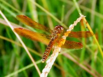 Eastern Amberwing dragonfly -- only 1 inch long.