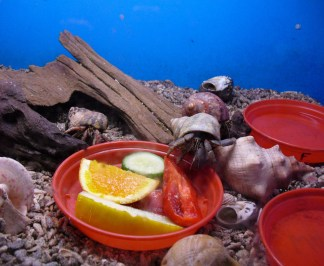 Hermit crabs enjoying lunch