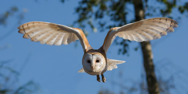 barn-owl-1107397_640