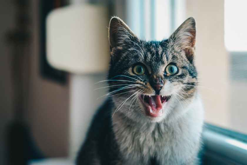 close up portrait of cat yawning