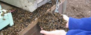 Милионни пчели са унищожени по погрешка
