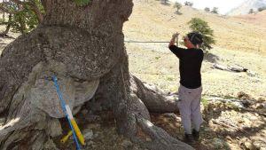 Вижте кое е най-старото дърво в Европа